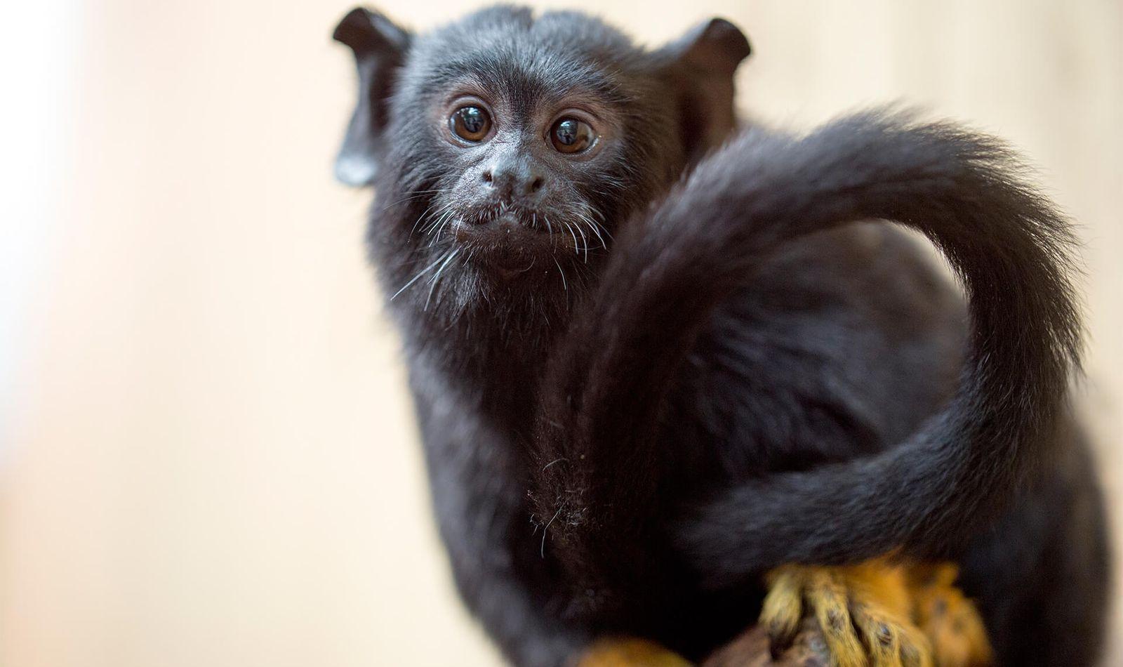 Tamarin à mains rousses - Venez visiter les animaux du ZooParc