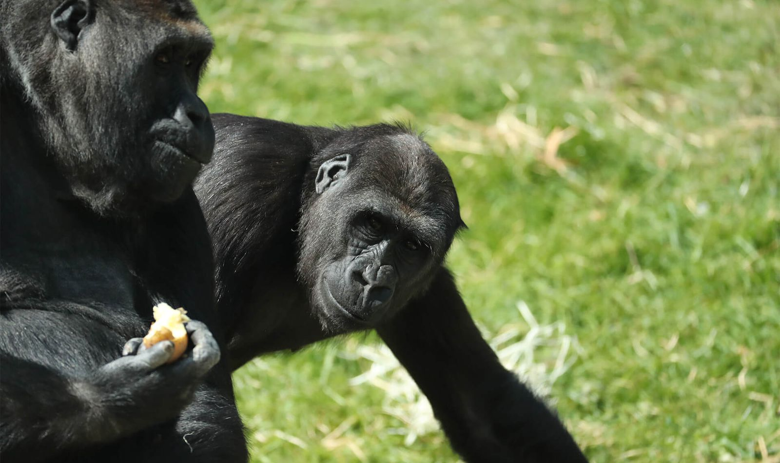 Gorilles des plaines de l'Ouest - Animaux extraordinaires du ZooParc
