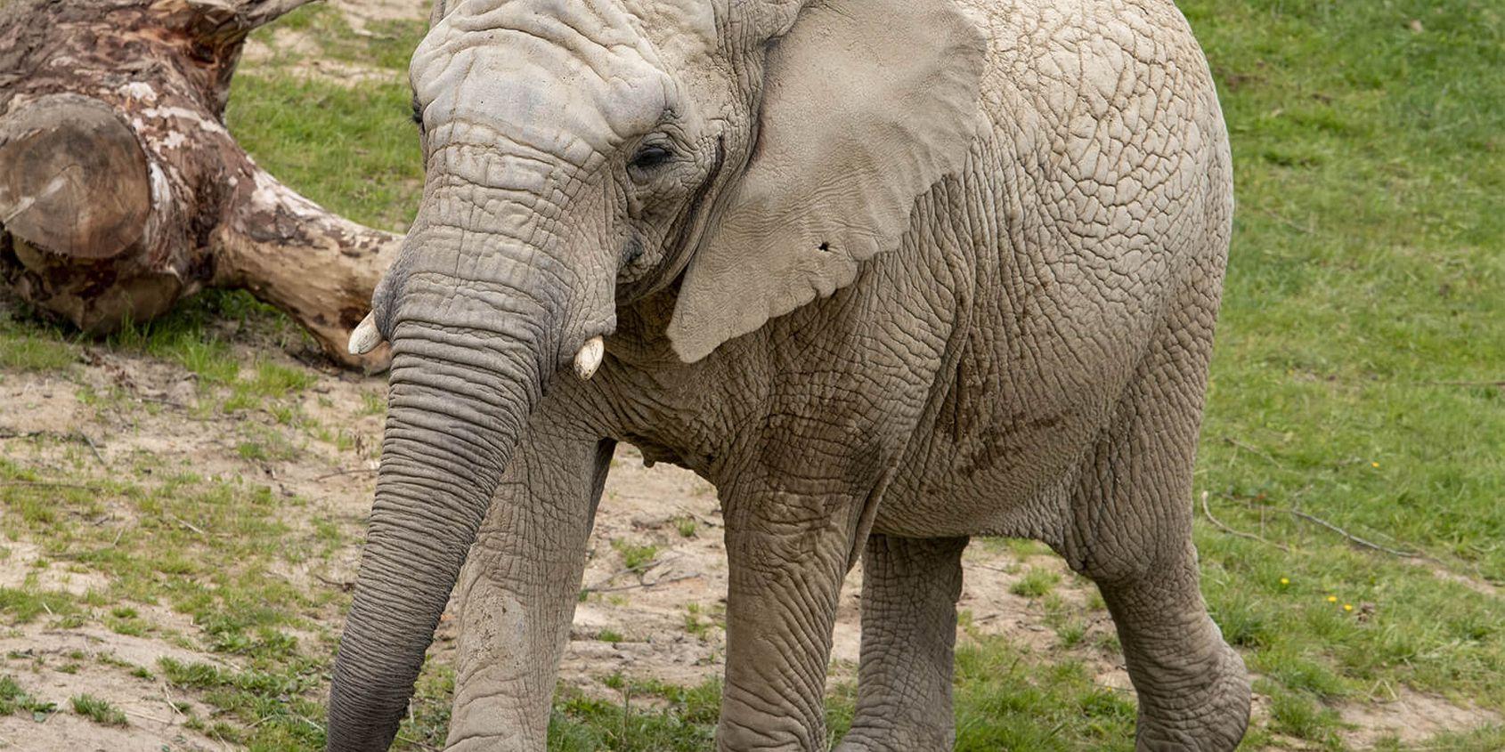 Éléphant - Les animaux de La Plaine des Éléphants - ZooParc de Beauval