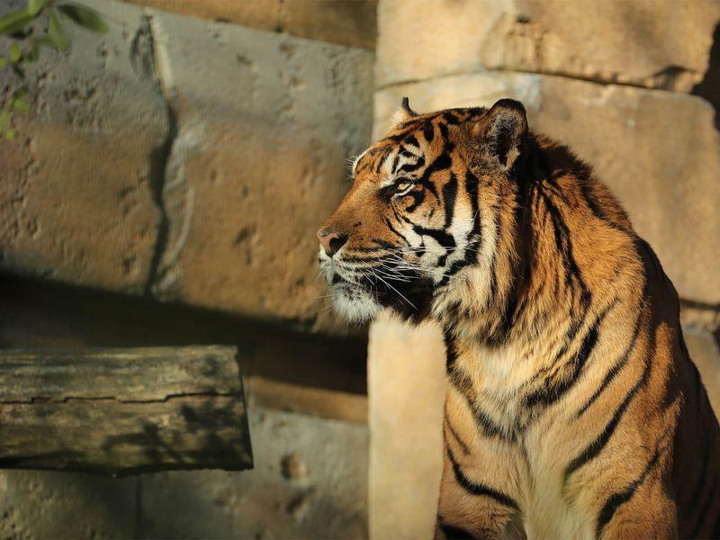 Tigre de Sumatra seul - Les animaux du Bois des Fauves - ZooParc de Beauval