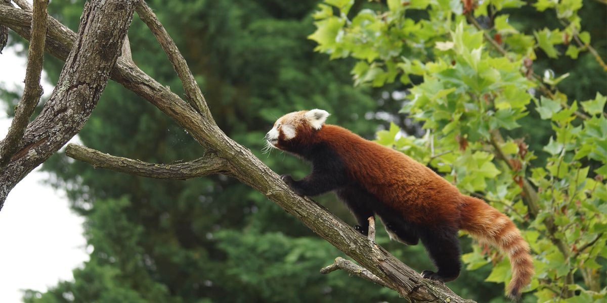 Panda roux - Les animaux des Hauteurs de Chine - ZooParc de Beauval