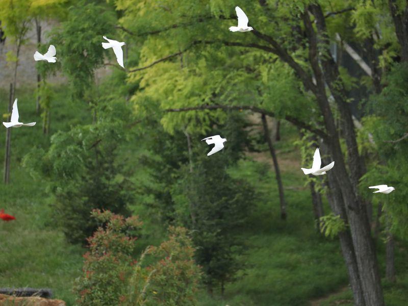 Colombes blanches en vol - Spectacle d'oiseaux - Les Maîtres des Airs