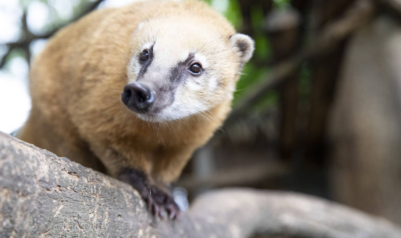 La protection des animaux, un enjeu majeur pour Beauval - Coati roux - ZooParc de Beauval