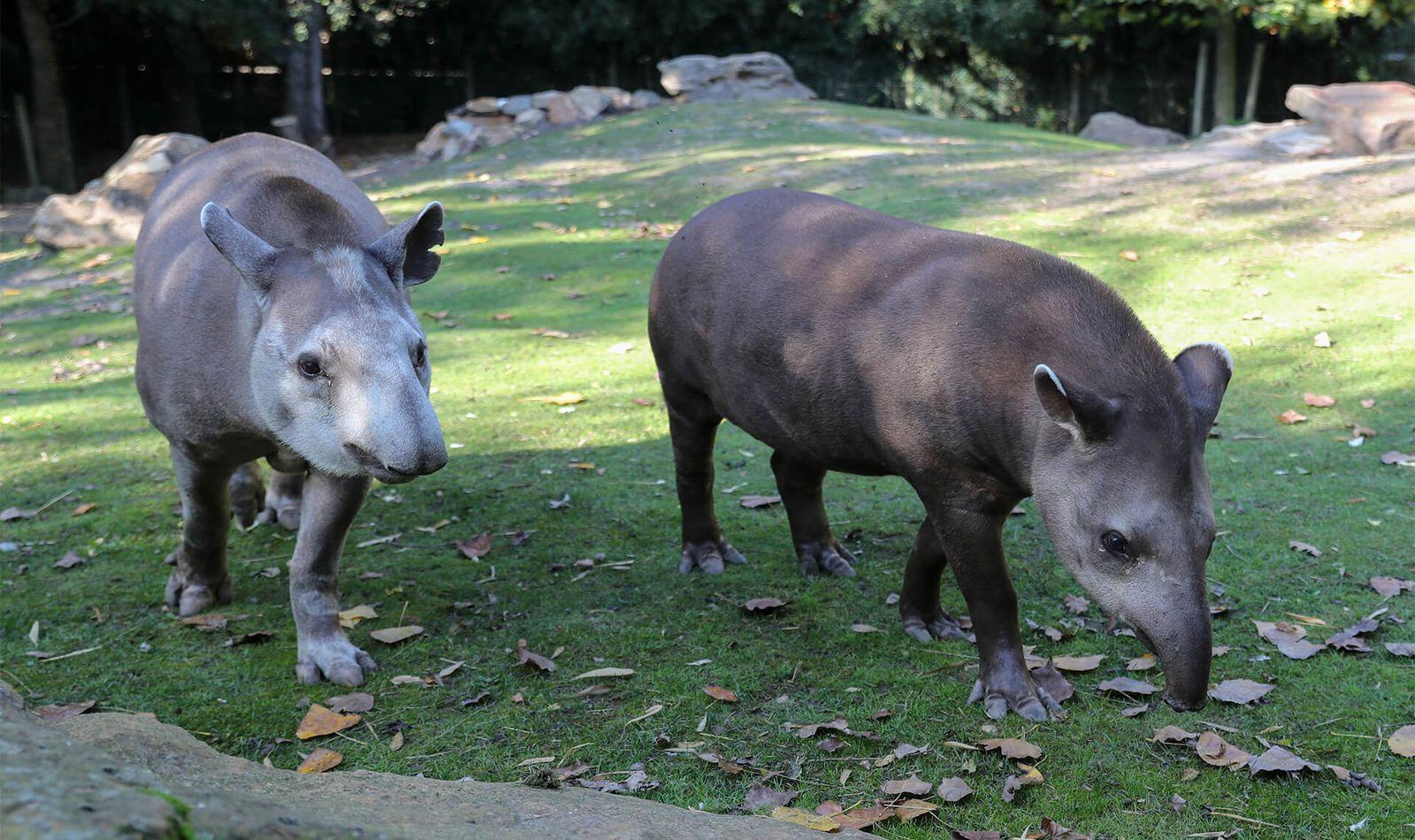Tapirs terrestres - Animaux extraordinaires du ZooParc