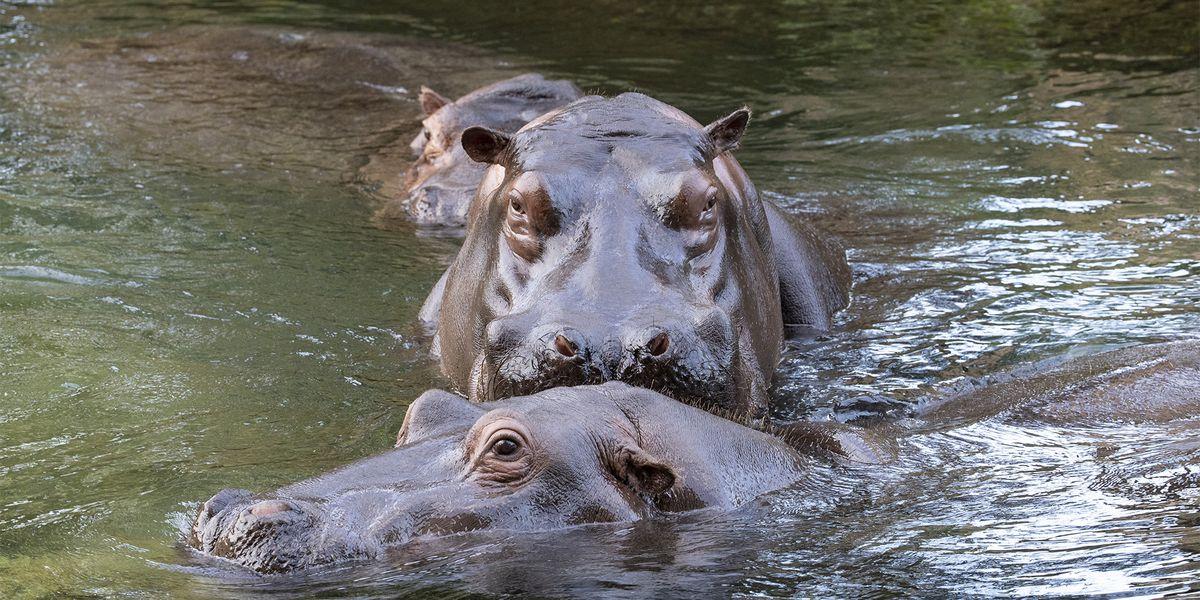 Hippopotames - Les animaux de La Réserve des Hippopotames - ZooParc de Beauval