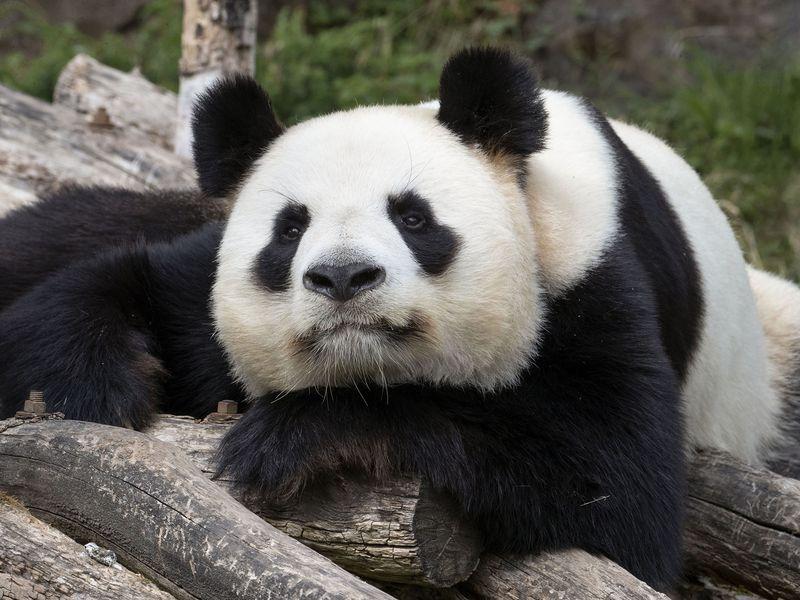 Yuan Zi - Panda - ZooParc de Beauval