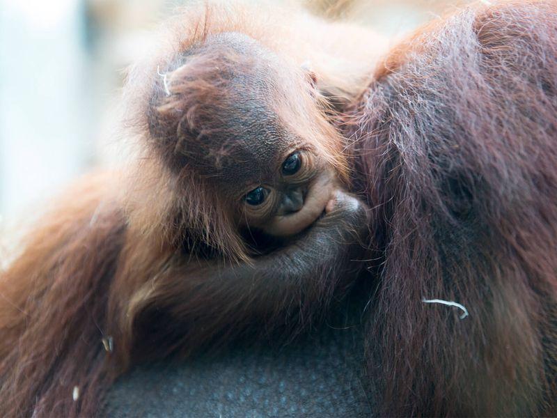 Bébé orang-outan - Animaux extraordinaires du ZooParc