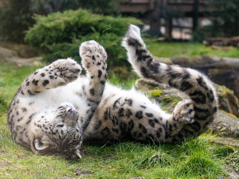 Panthère des neiges - Animaux extraordinaires du ZooParc
