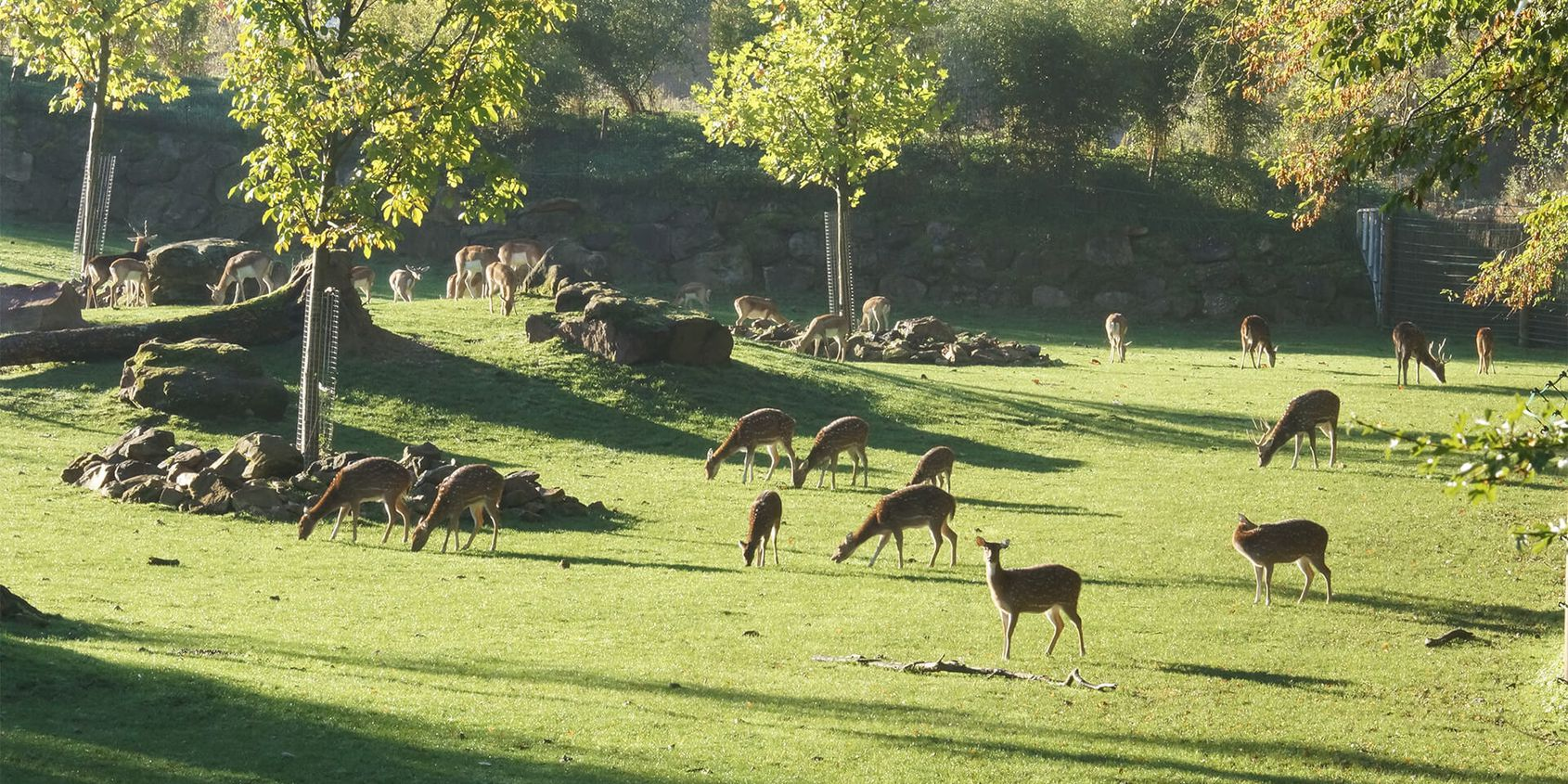 Cerfs axis - Les animaux de La Plaine Asiatique - ZooParc de Beauval
