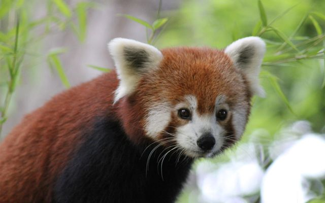 Panda roux - L'histoire du ZooParc