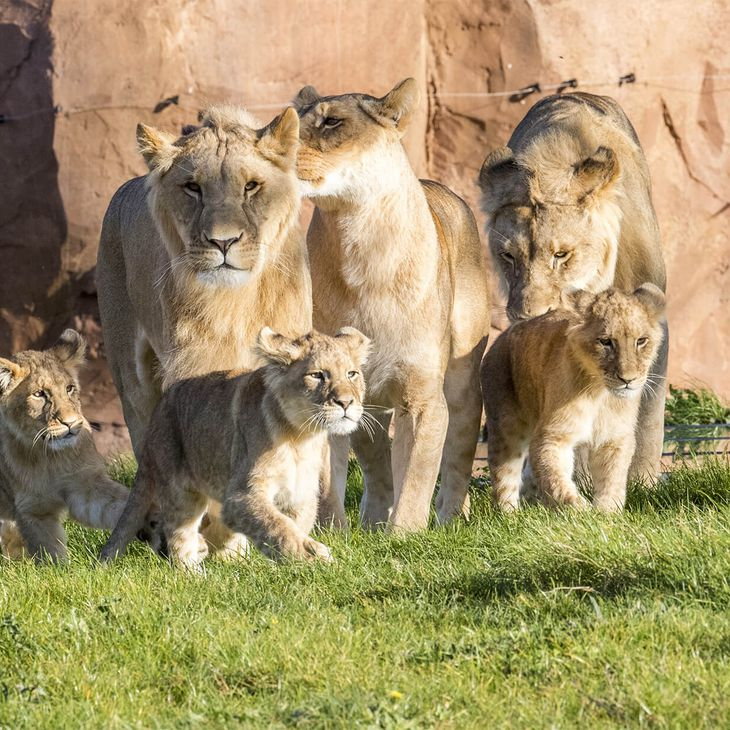 Famille de lions - Venez visiter les animaux du ZooParc