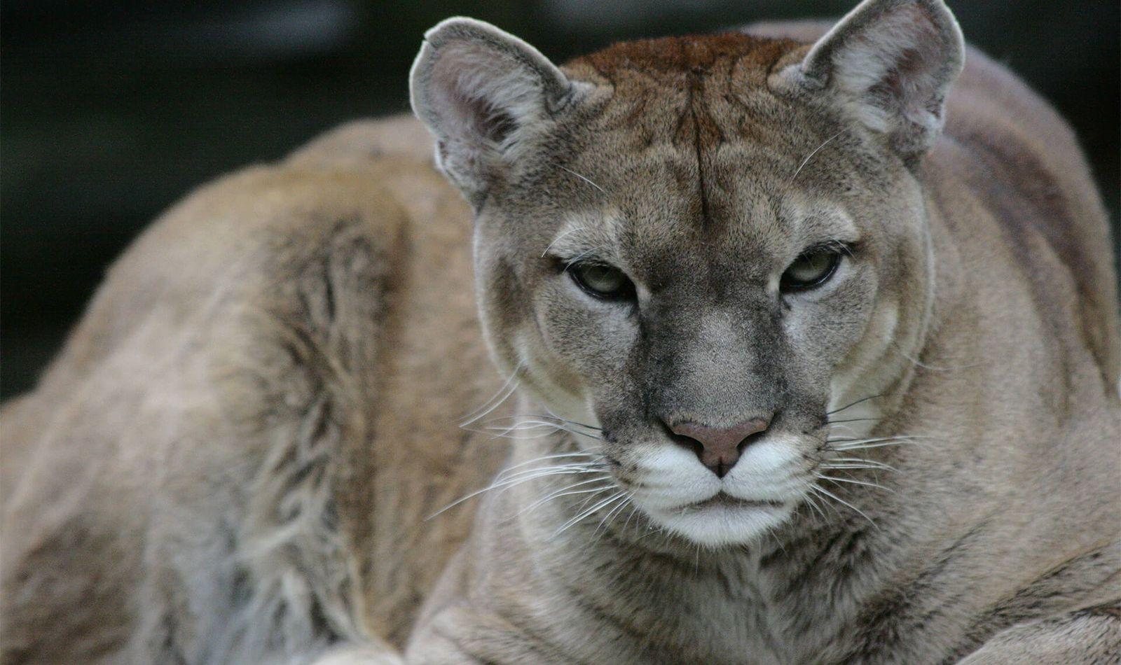 Puma - Acheter un Pass annuel avec visite du zoo en illimité pendant 1 an - ZooParc de Beauval