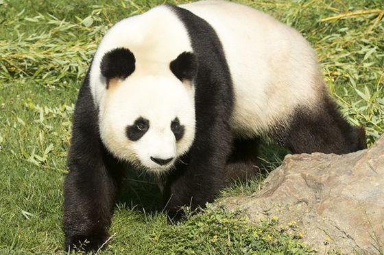 La FAQ des pandas