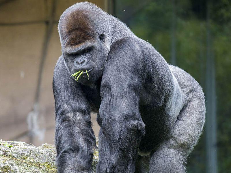 Parrainez Asato, gorille dos argenté - Les animaux de la Serre des Gorilles - ZooParc de Beauval