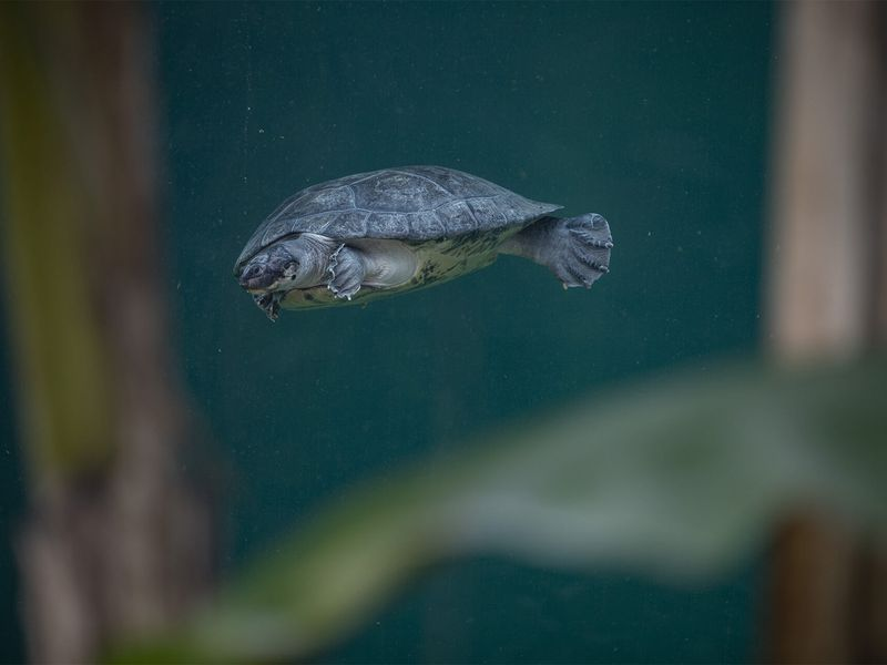 Tortue à nez de cochon - Les animaux du Dôme Équatorial - ZooParc de Beauval