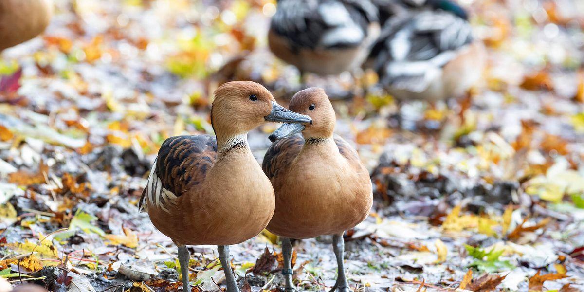 Canards - Les animaux de L'Allée Historique - ZooParc de Beauval