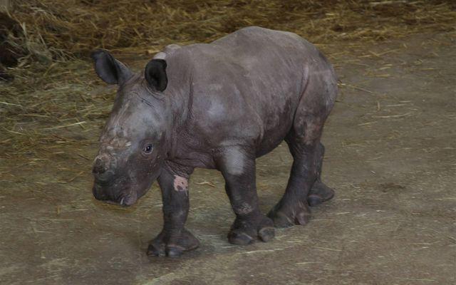 Bébé rhinocéros blanc Kanty - L'histoire du ZooParc