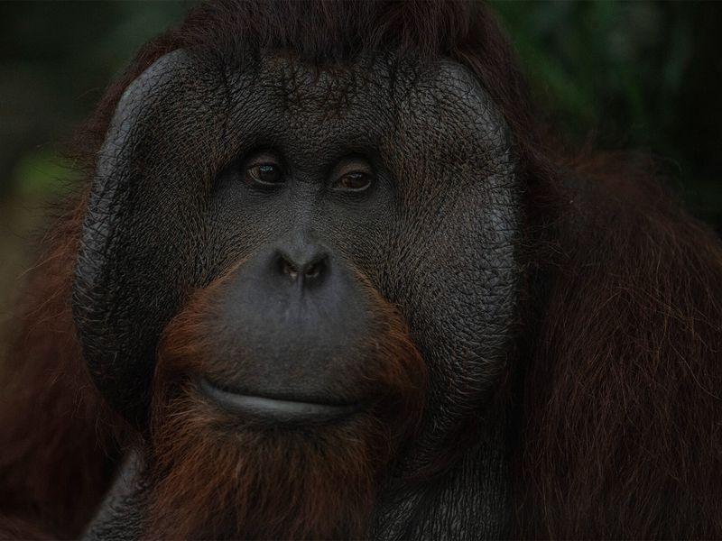 Orang-outan - Animaux extraordinaires du ZooParc