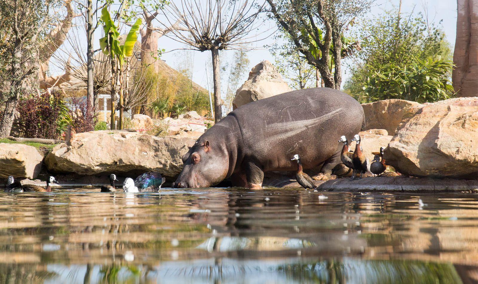 Hippopotame - Animaux extraordinaires du ZooParc