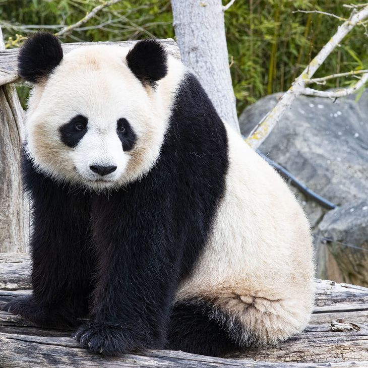 Panda géant - ZooParc de Beauval