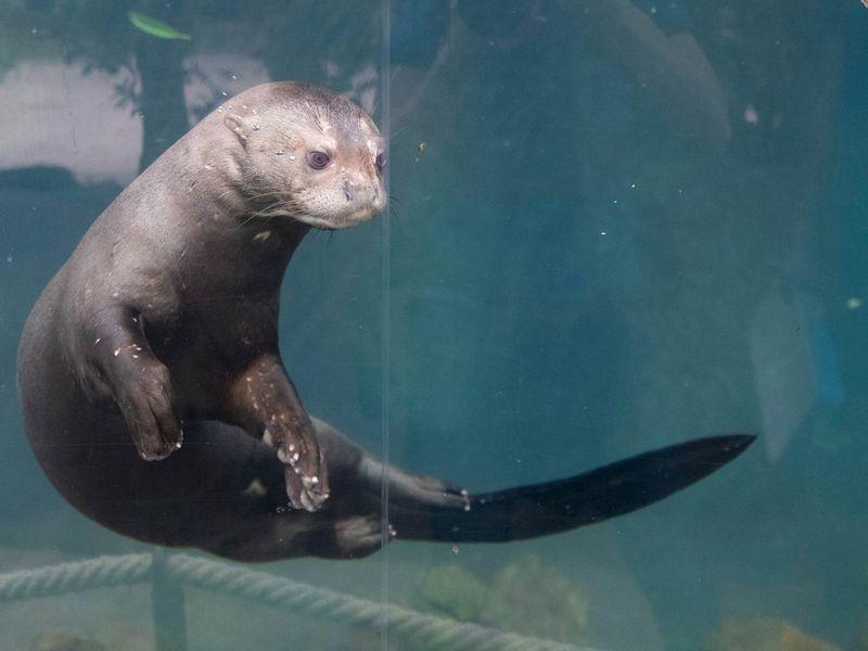 Loutre géante - Animaux extraordinaires du ZooParc