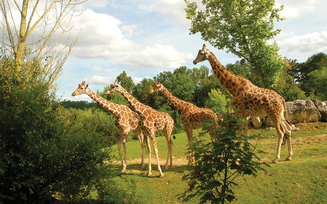 Girafes - L'histoire du ZooParc
