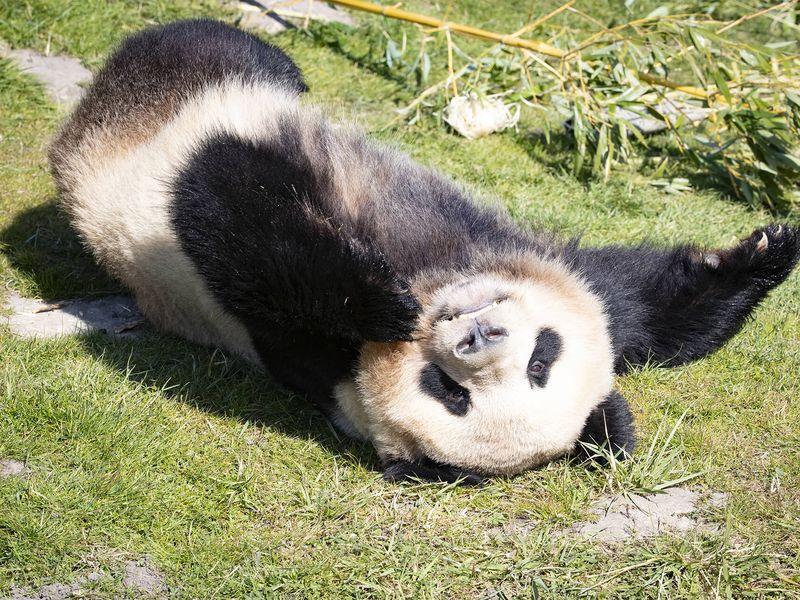 Panda géant, emblème de la conservation - ZooParc de Beauval