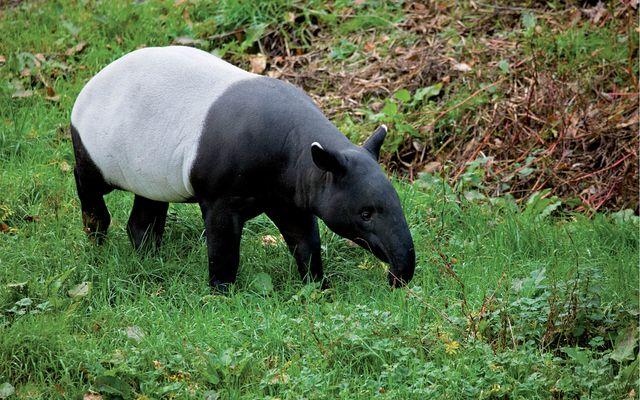 Tapir à dos blanc - L'histoire du ZooParc