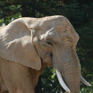 Éléphant d'Afrique - Animaux extraordinaires du ZooParc