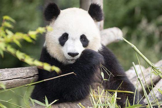 Un bébé panda en 2021… ou pas?