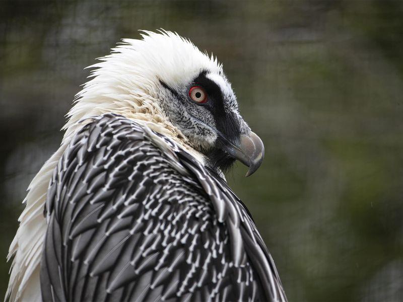 Gypaète barbu - Animaux extraordinaires du ZooParc