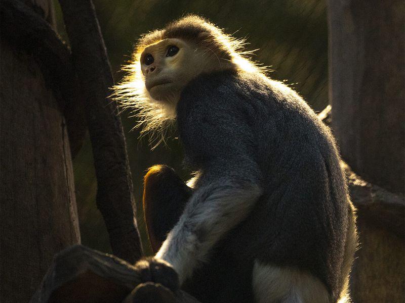Parrainez les langurs de Douc - ZooParc de Beauval