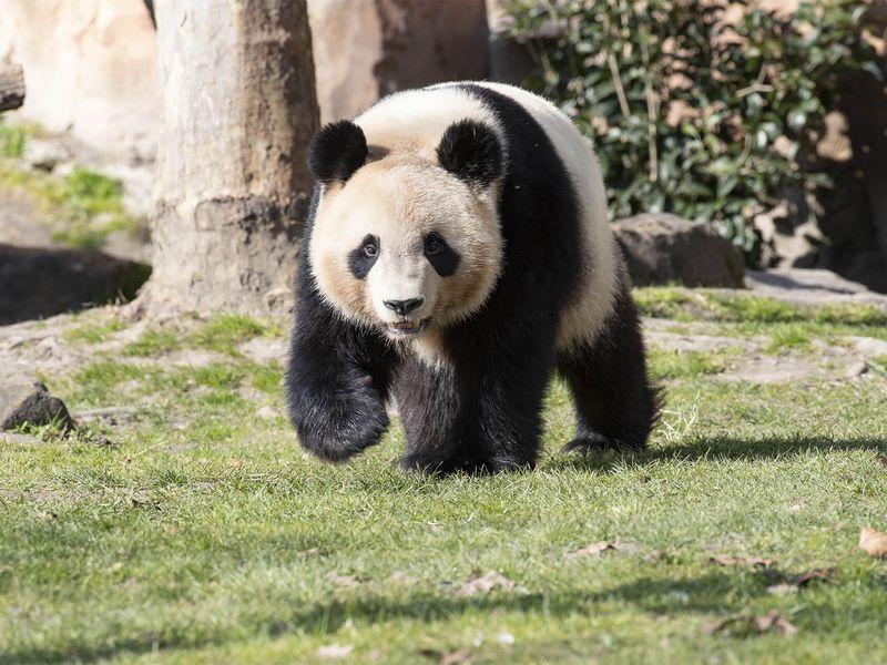 Huan Huan femelle panda - ZooParc de Beauval
