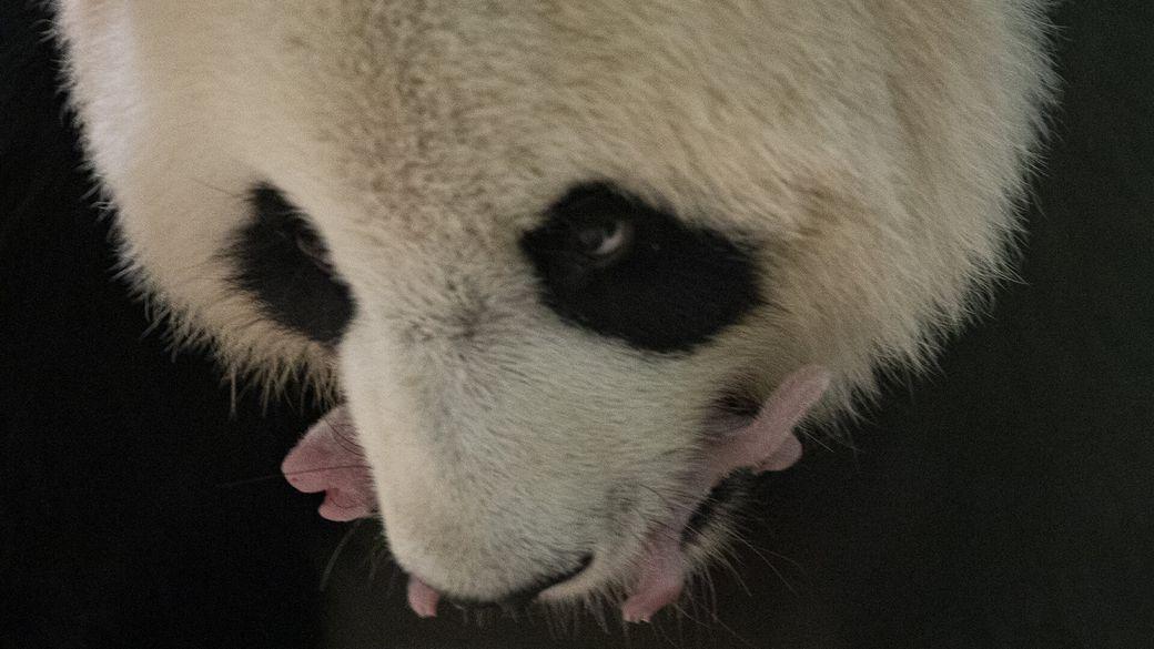 Huan Huan avec l'une de ses petites panda dans sa gueule - Bébés panda - ZooParc de Beauval