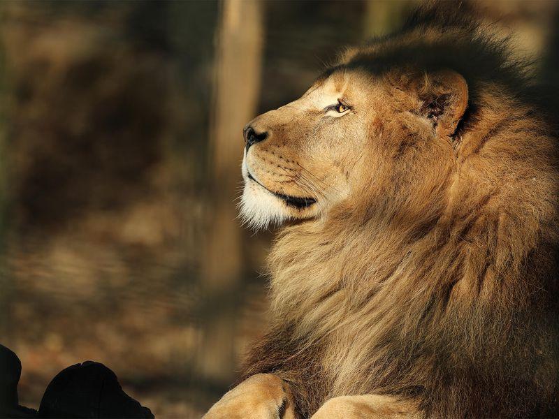Lion d'Afrique - Animaux extraordinaires du ZooParc