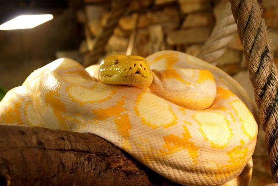 Python albinos - Les animaux du Vivarium et Aquarium - ZooParc de Beauval