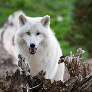 Loup arctique - Animaux extraordinaires du ZooParc