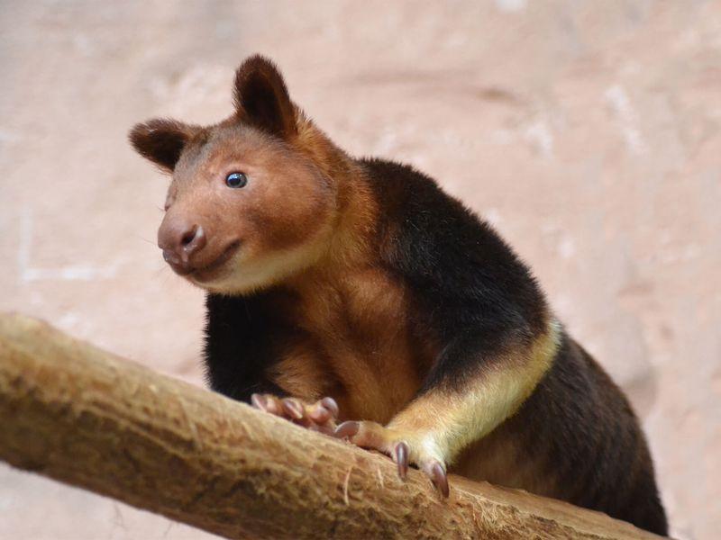 Kangourou arboricole - Animaux extraordinaires du ZooParc