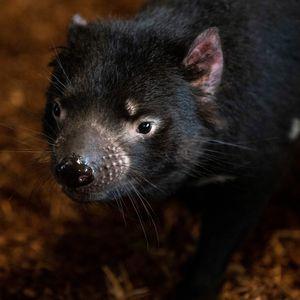 Diable de Tasmanie - Animaux du ZooParc de Beauval