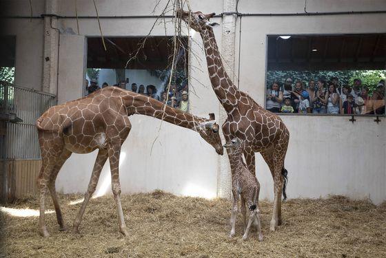 Vue intérieur espace girafe - Les animaux de la Savane Africaine - ZooParc de Beauval