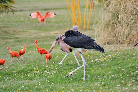 Marabout et ibis rouges - Spectacle d'oiseaux - Les Maîtres des Airs