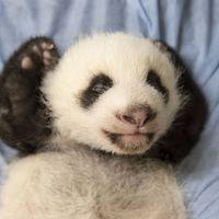 Petite Neige - Jumelle bébés panda - ZooParc de Beauval