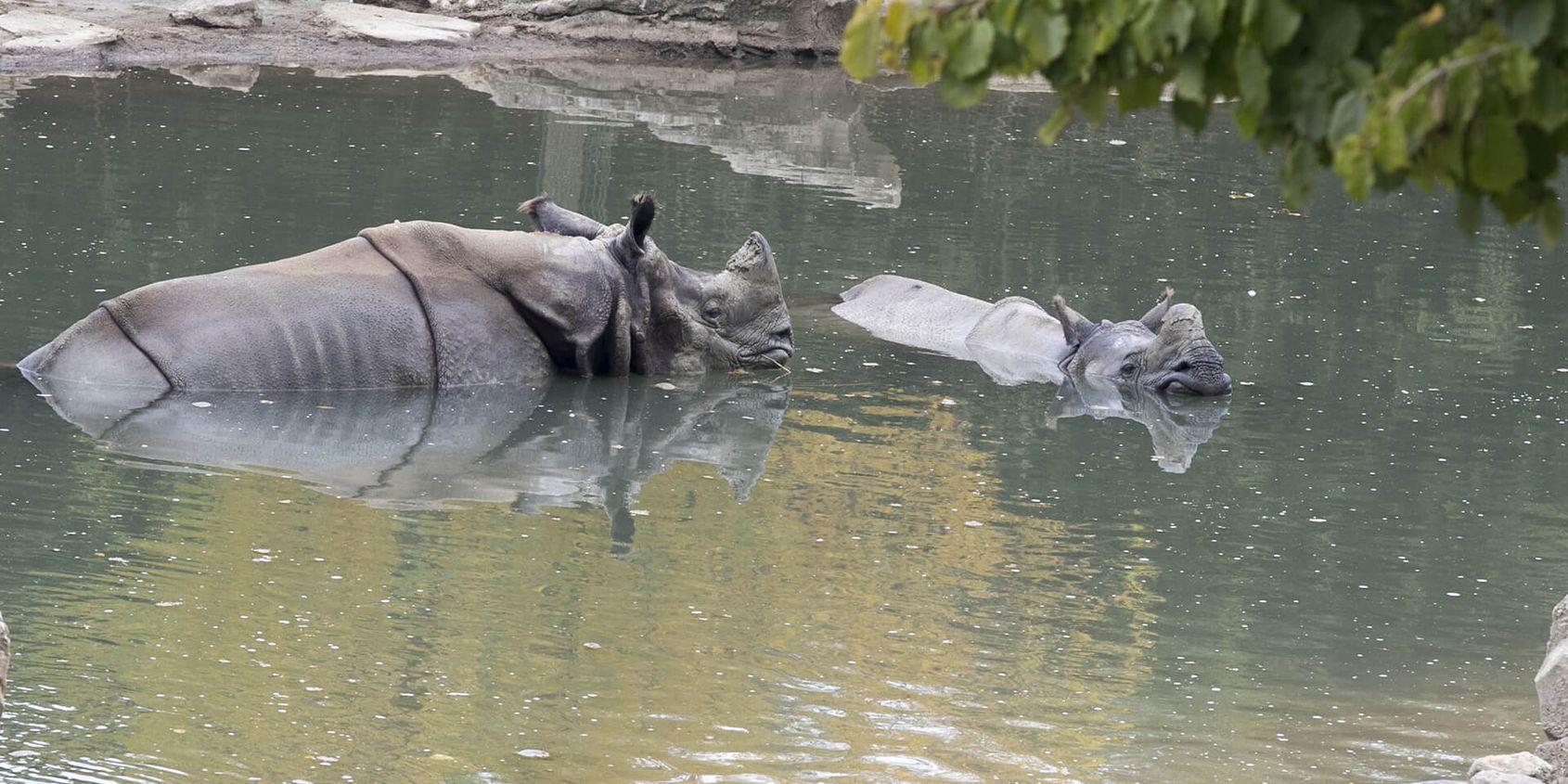 Rhinocéros indiens - Les animaux de La Plaine Asiatique - ZooParc de Beauval