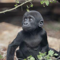 La Serre des Gorilles - Territoire du ZooParc de Beauval