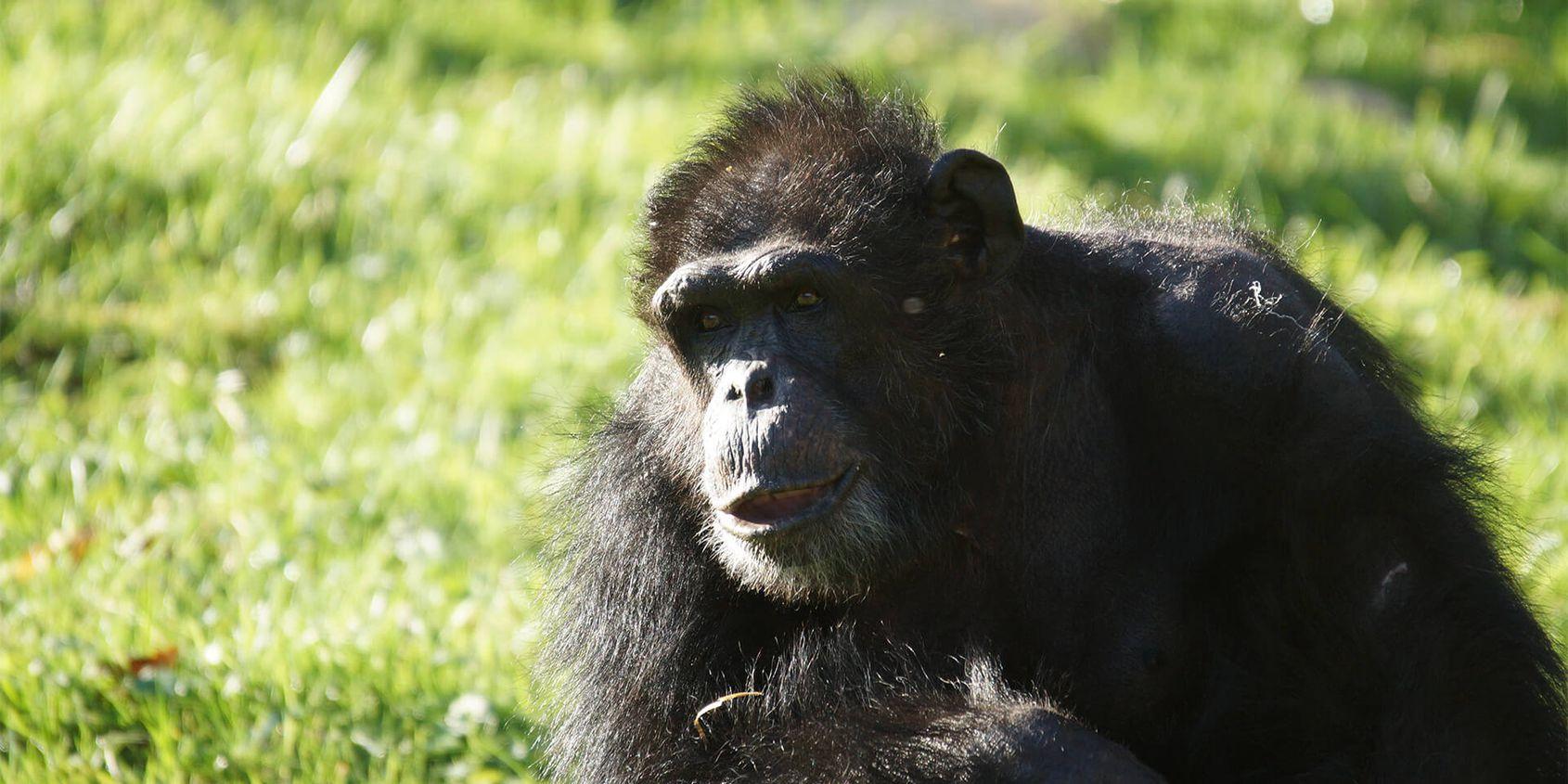 Mâle chimpanzé - Les animaux de La Serre des Chimpanzés et Orangs-outans - ZooParc de Beauval