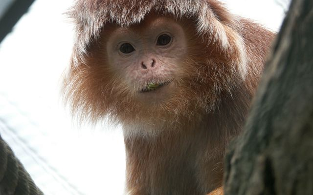 Langur de Java - L'histoire du ZooParc
