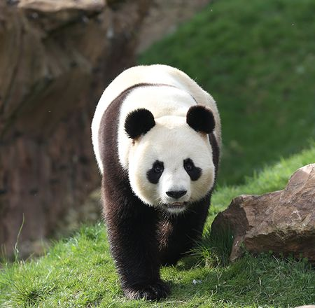 Les pandas géants - Animation - Activité du ZooParc de Beauval