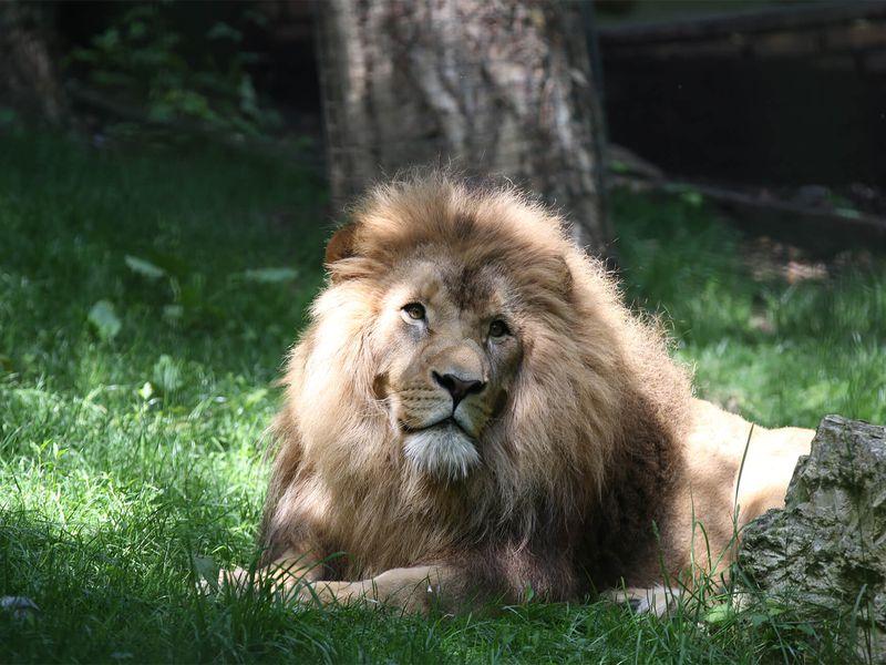 Lion d'Afrique - Déménagement territoire Bois des Fauves à La Terre des Lions - ZooParc de Beauval