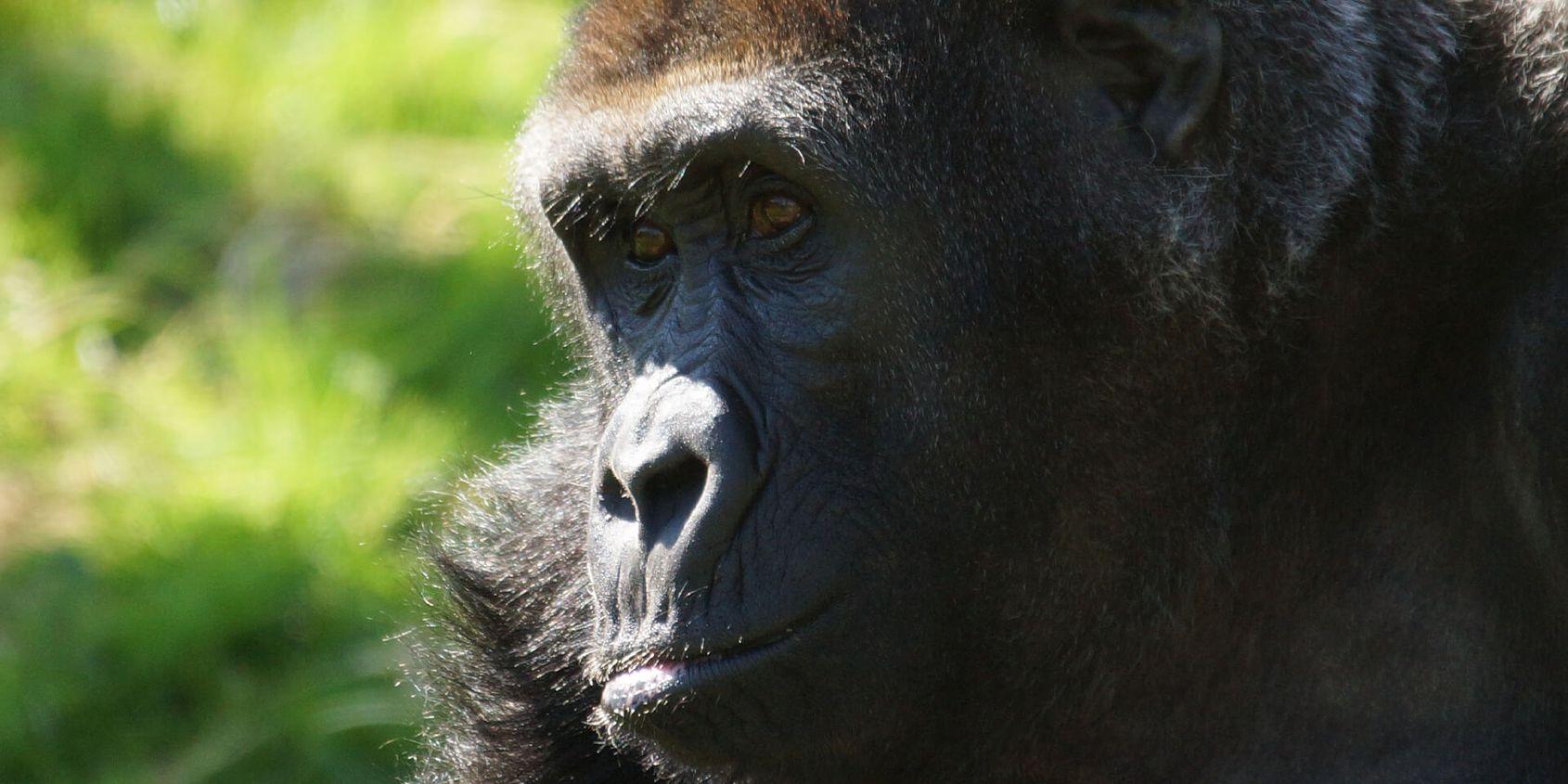 Gorille des plaines de l'Ouest - Les animaux de la Serre des Gorilles - ZooParc de Beauval