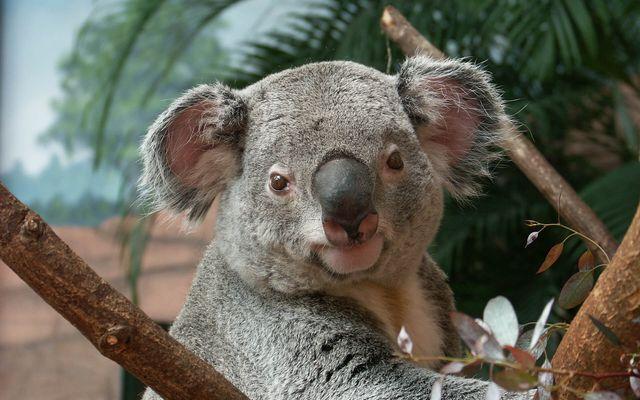 Koala - L'histoire du ZooParc